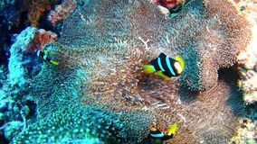 Diving Maldives - Clownfish stock footage