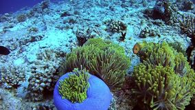 Diving Maldives - Clownfish stock video footage