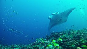 Diving Maldives - Manta Ray stock video footage