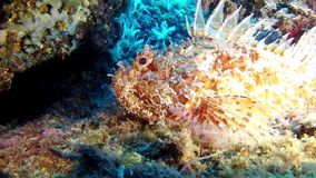 Diving in the Mediterranean Sea - scorpion fish stock footage