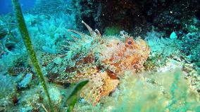 Diving in the Mediterranean Sea - scorpion fish stock video footage