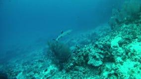 Diving Maldives - shark stock footage