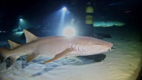 Diving Maldives - Shark stock video footage