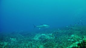 Diving in the Mediterranean -  tuna fish stock video