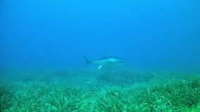 Diving in the Mediterranean Sea - tuna fish. Diving in the Mediterranean Sea -  Tuna fish stock video footage