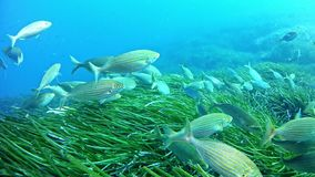 Diving in Mallorca Spain - Salema shoal stock video footage