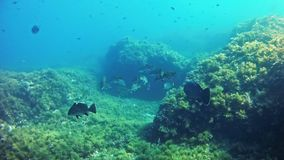 Diving in Mallorca- Spain underwater - Grouper fish. Mediterranean Sea underwater - Grouper fish and Mediterranean others stock video