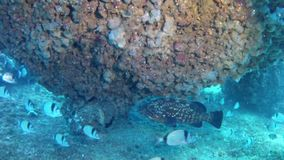 Diving in Mallorca- Spain underwater - Grouper fish. Mediterranean Sea underwater - Grouper fish and two banded breams stock video