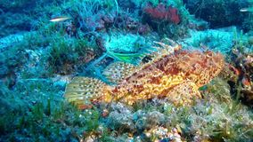 Diving in Mallorca- Spain underwater - Scorpion fish. Mediterranean underwater sea life - Scorpionfish stock video footage