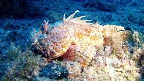 Diving in Mallorca- Spain underwater - Scorpion fish. Mediterranean underwater sea life - Scorpionfish stock video