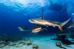 Diving with many reef sharks all around and feeding Royalty Free Stock Photography