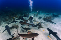 Diving with many reef sharks all around and feeding. Frenzy in Nassau, Bahamas Royalty Free Stock Images