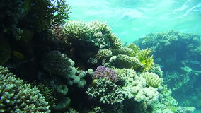 Diving near Coral Reefs in the Red Sea, Egypt. Beautiful Colorful Tropical Fish on Vibrant Coral Reefs Underwater. Sealife in the Red Sea stock footage