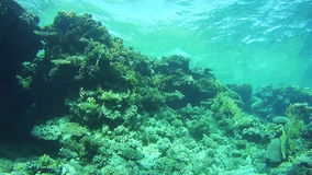 Diving near Coral Reefs in the Red Sea, Egypt. Beautiful Colorful Tropical Fish on Vibrant Coral Reefs Underwater. Sealife in the Red Sea stock video footage