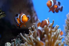 Diving in Okinawa, Japan. When travel here. Okinawa`s crystal-clear waters allow divers to truly appreciate its stunning underwater seascapes. blue-banded Royalty Free Stock Image
