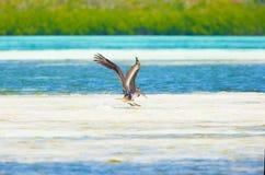 Diving pelican royalty free stock image