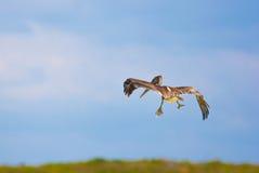 Diving pelican stock images