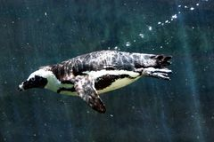 Diving Penguin stock image