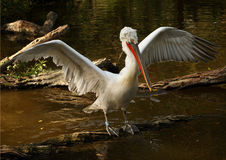 Diving petrel. Shot of the Dalmatian pelican - detail of the eye Royalty Free Stock Images