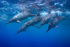 Diving Pod. A pod of spinner dolphins in Hawaii Stock Photo