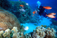 Diving in the Red Sea Stock Image