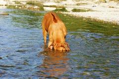 Diving Rhodesian Ridgeback Dog Royalty Free Stock Images