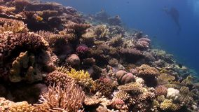 Diving school of fish in coral reef underwater Red sea. Colorful marine nature stock video
