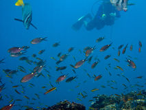 Diving at the Sea o Cortez Baja Mexico. Diving at the Sea of Cortez Baja Mexico. Fish here go in large schools Surgeonfish Royalty Free Stock Photography
