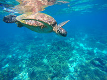 Diving sea turtle in blue water. Green sea tortoise close photo. Royalty Free Stock Image