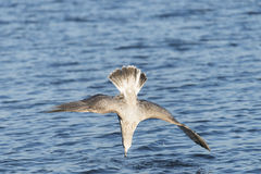 Diving seagull. Seagull is diving in the water Royalty Free Stock Photography