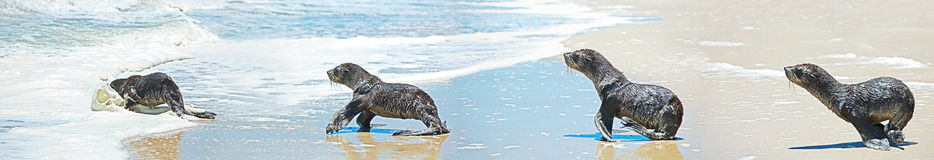Diving seal in panoramic Royalty Free Stock Photography