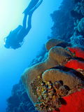 Diving in the see. Coral with diver in the background Stock Photo