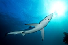 Blue shark, prionace glauca, South Africa. Diving with the shark, dangerous dive, African coastline, scuba diving in Africa, Blue shark in South Africa Royalty Free Stock Photography