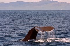 Diving Sperm Whale. A diving Sperm Whale at Kaikoura Coast, NZ Stock Images