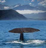 Diving Sperm whale near coastline of Kaikoura (New Zealand). Fin of a Sperm whale with the mountains of Kaikoura Range in background (New Zealand royalty free stock images