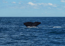 Diving Sperm whale`s tail Stock Images