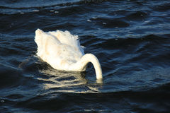 Diving swan Royalty Free Stock Photo