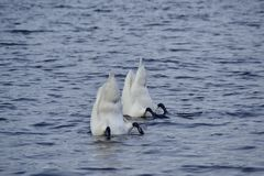 Diving Swans Royalty Free Stock Images