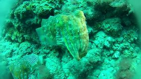 Diving. In Tenerife with cuttlefish stock video footage