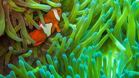 Clown fish in anemone, colorful in green and orange royalty free stock images