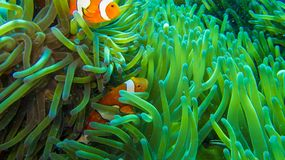 Clown fish in anemone, colorful in green and orange stock image