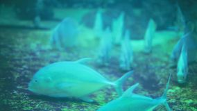 Diving of tropical fishes swimming in blue aquarium. 1920x1080. Hd stock video footage