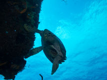 Diving with a Turtle off Isla Mujeres, mexico Royalty Free Stock Image
