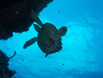 Diving with a Turtle off Isla Mujeres, mexico Royalty Free Stock Images