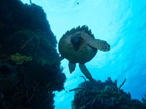 Diving with a Turtle off Isla Mujeres, mexico Stock Photo