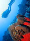 Diving the wall. Coral with diver in the background stock photography