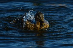 Diving wild duck female. Diving duck in Nykøbing harbor in Denmark, just breaking the water when coming up Stock Image