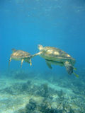 Diving With Turtles Stock Image