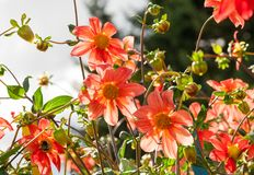 Divisez en lots les fleurs oranges et bourgeonnez l'aster avec les pétales minces de couleur orange avec le noyau jaune au soleil photo libre de droits