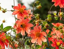 Divisez en lots les fleurs oranges et bourgeonnez l'aster avec les pétales minces de couleur orange avec le noyau jaune au soleil photo stock